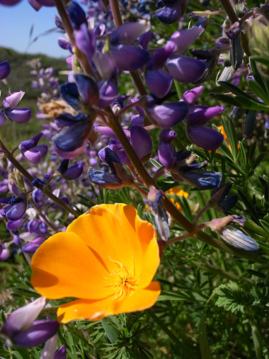 California-poppy-with-purple-lupins