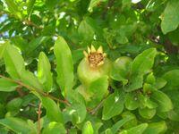 Cypruspomegranate