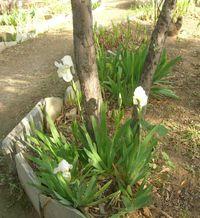 Acropolislilies