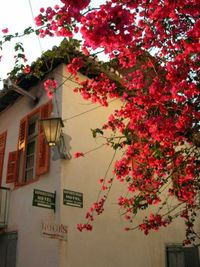 Bougainvillea.nauplion
