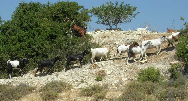 Cypriot.goats
