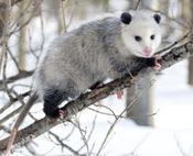 Opossum_3_2